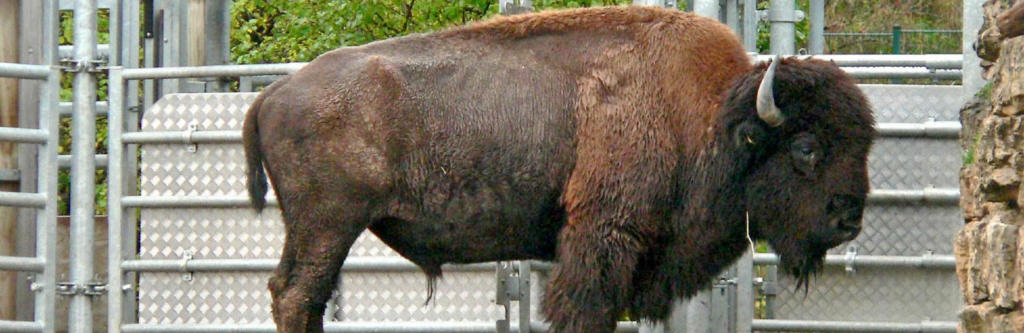 zooparkfreunde-bison-001